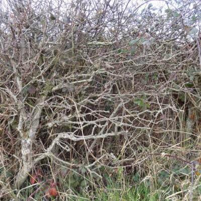 Bakewell-hedge.jpg