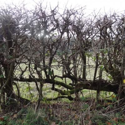 Hedge-Bakewell.jpg